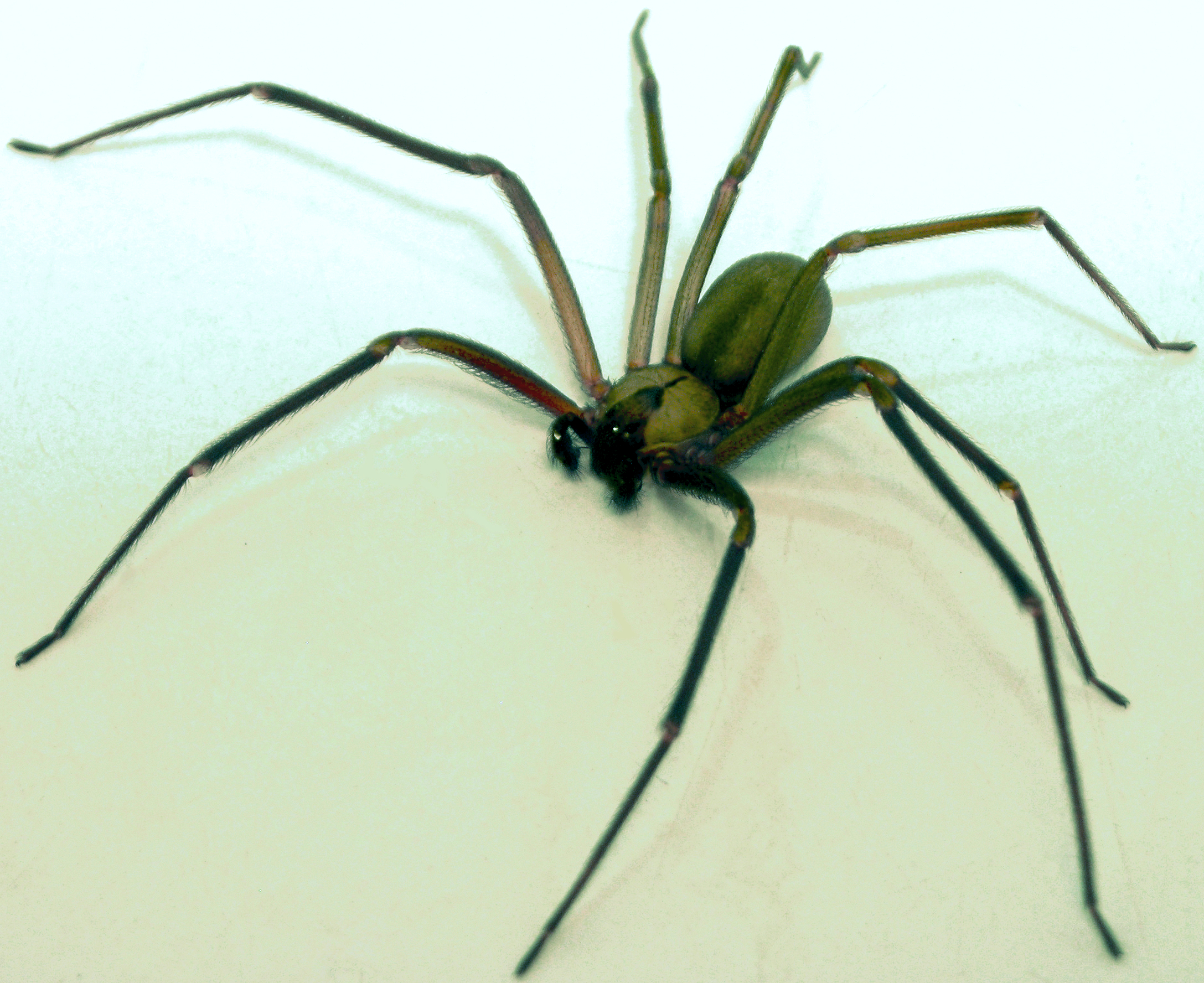 Image result for brown recluse spider