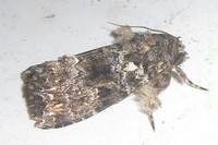 Callopistria latreillei (Duponchel, 1827).jpg