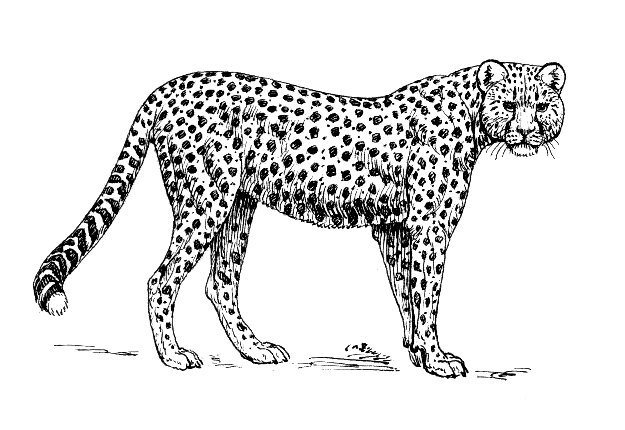 File Cheetah Psf Jpg Wikimedia Commons