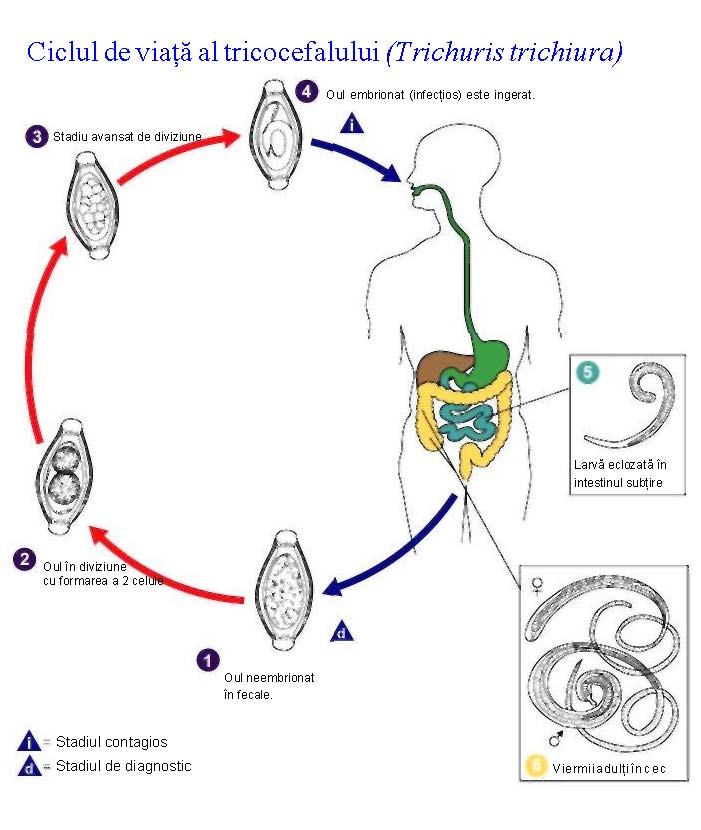 tratament pulmonar parazitar condilom la baza limbii