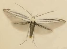 <i>Coleophora anatipennella</i> Species of moth