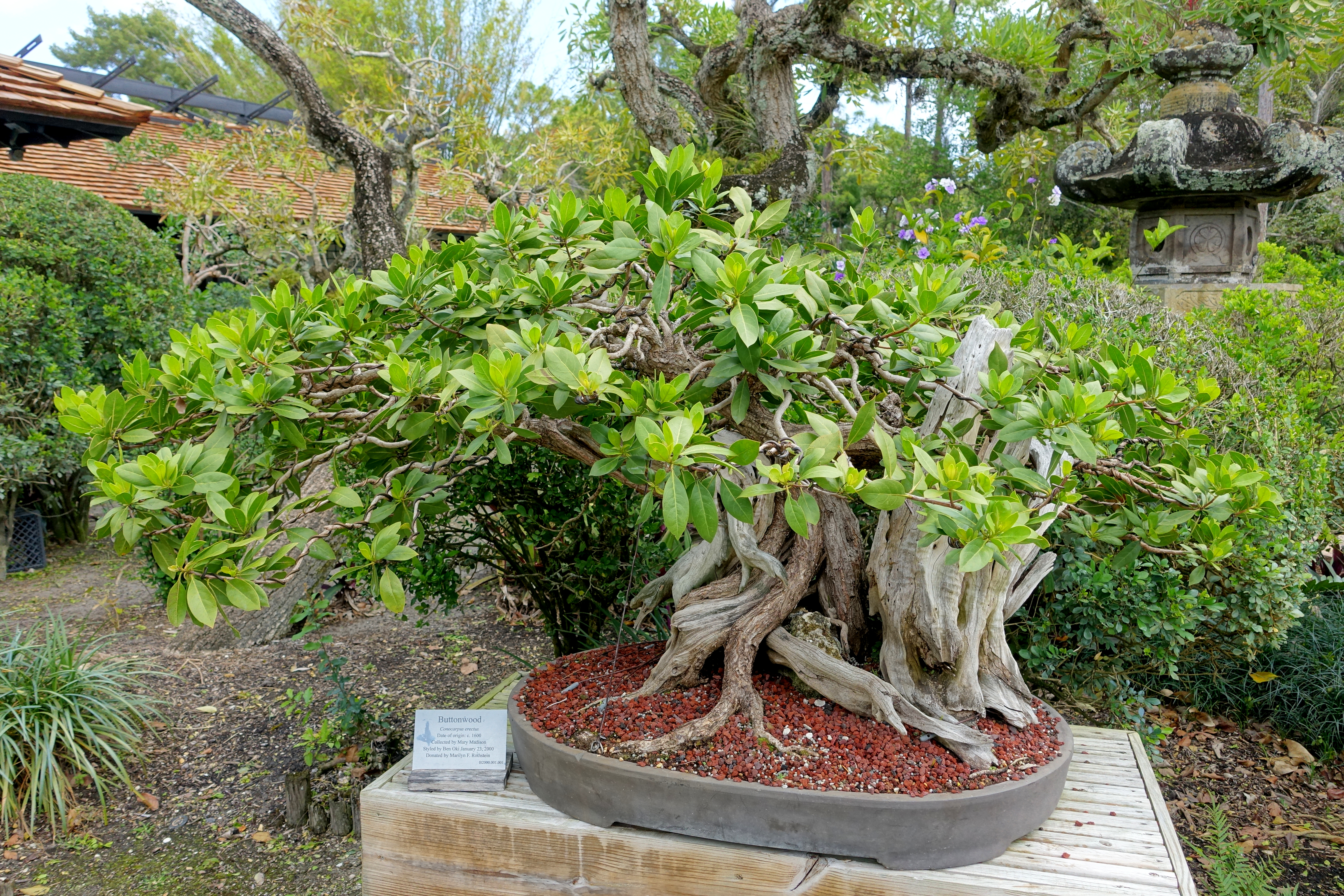 File:Conocarpus Erectus   Morikami Museum And Japanese Gardens   Palm Beach  County, Florida