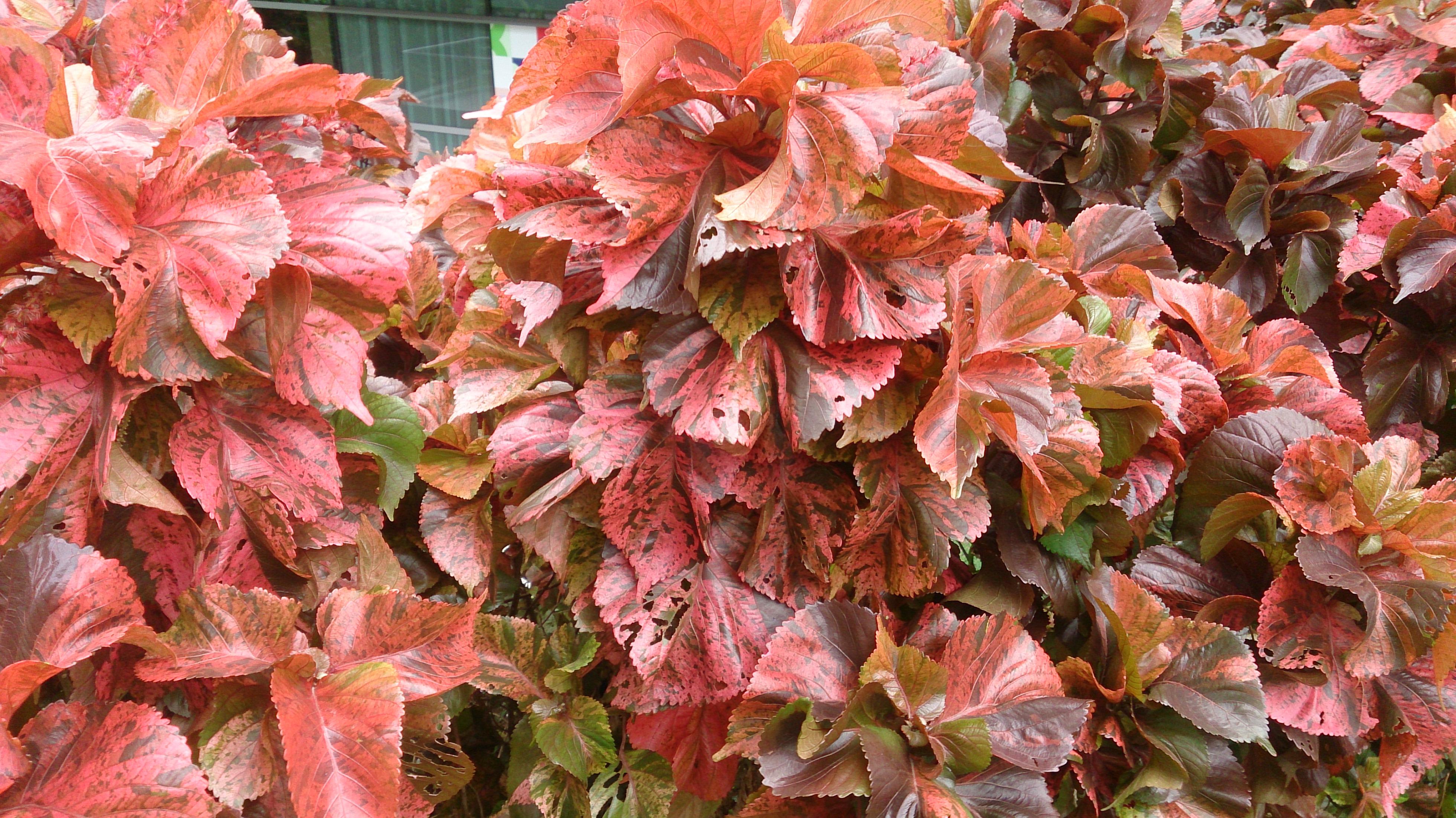 Filecopper Plant Acalypha Wilkesiana Mosaicajpg Wikimedia