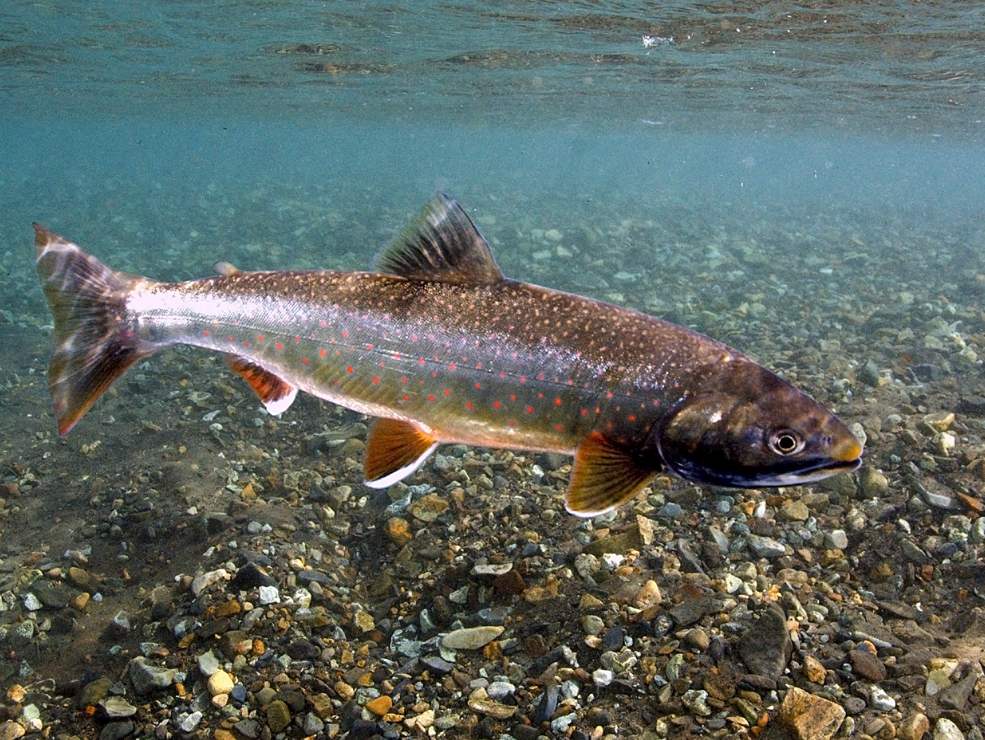 A Dolly Varden in a blue stream wih a gravel bottom, showing the red and orange spots on its blue-gray sides.