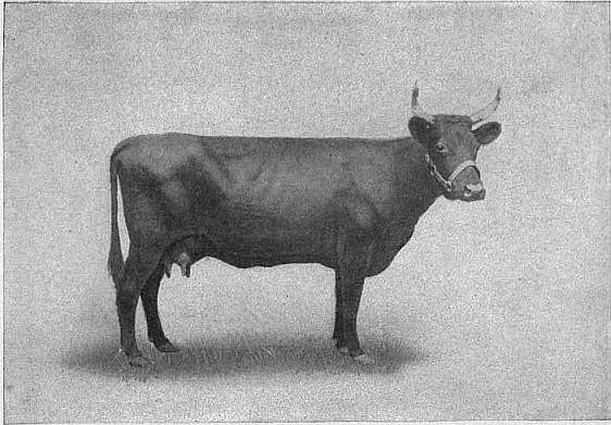 EB1911 Cattle - KERRY COW.jpg