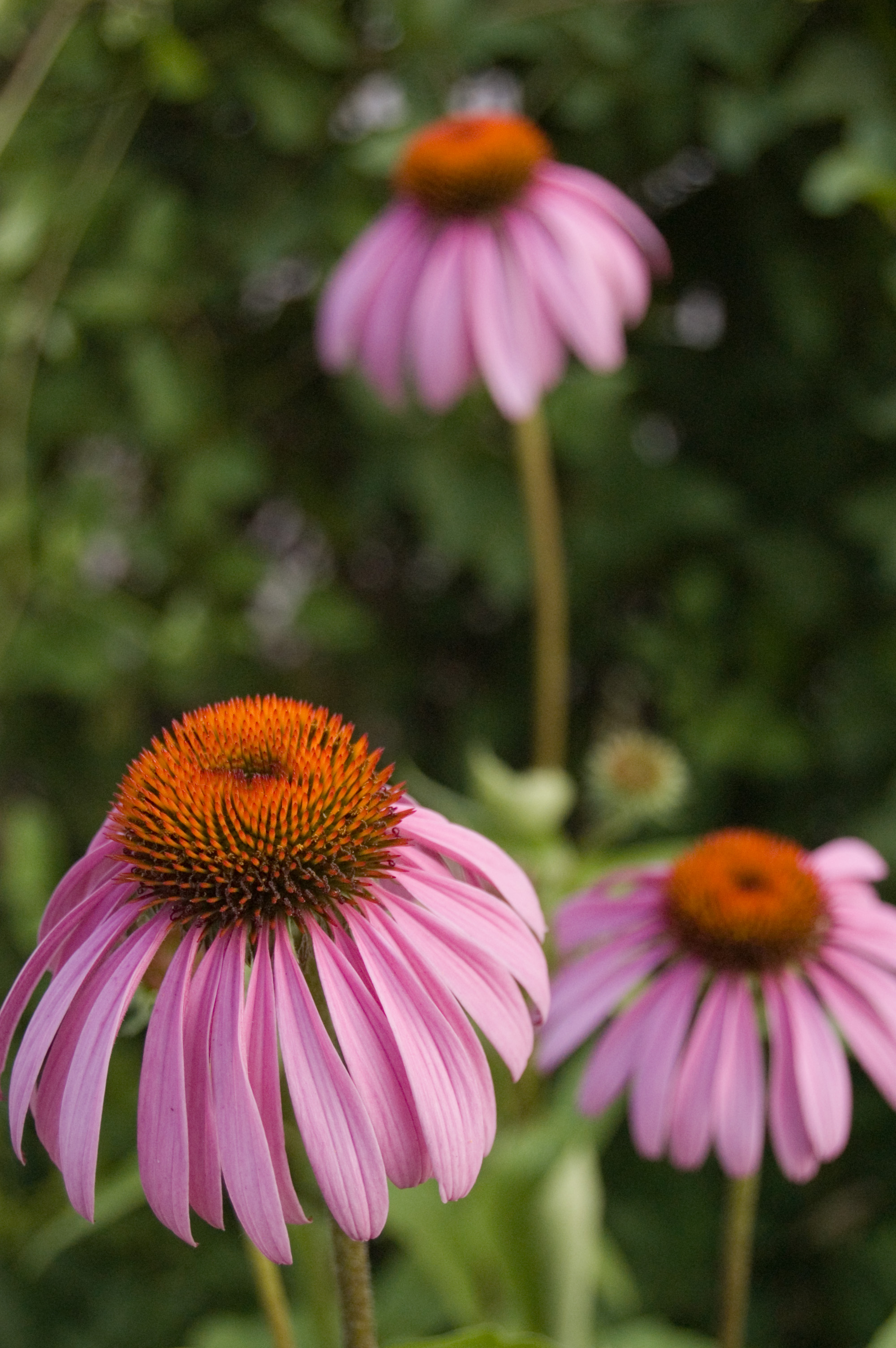 Echinacea / purple cone flower