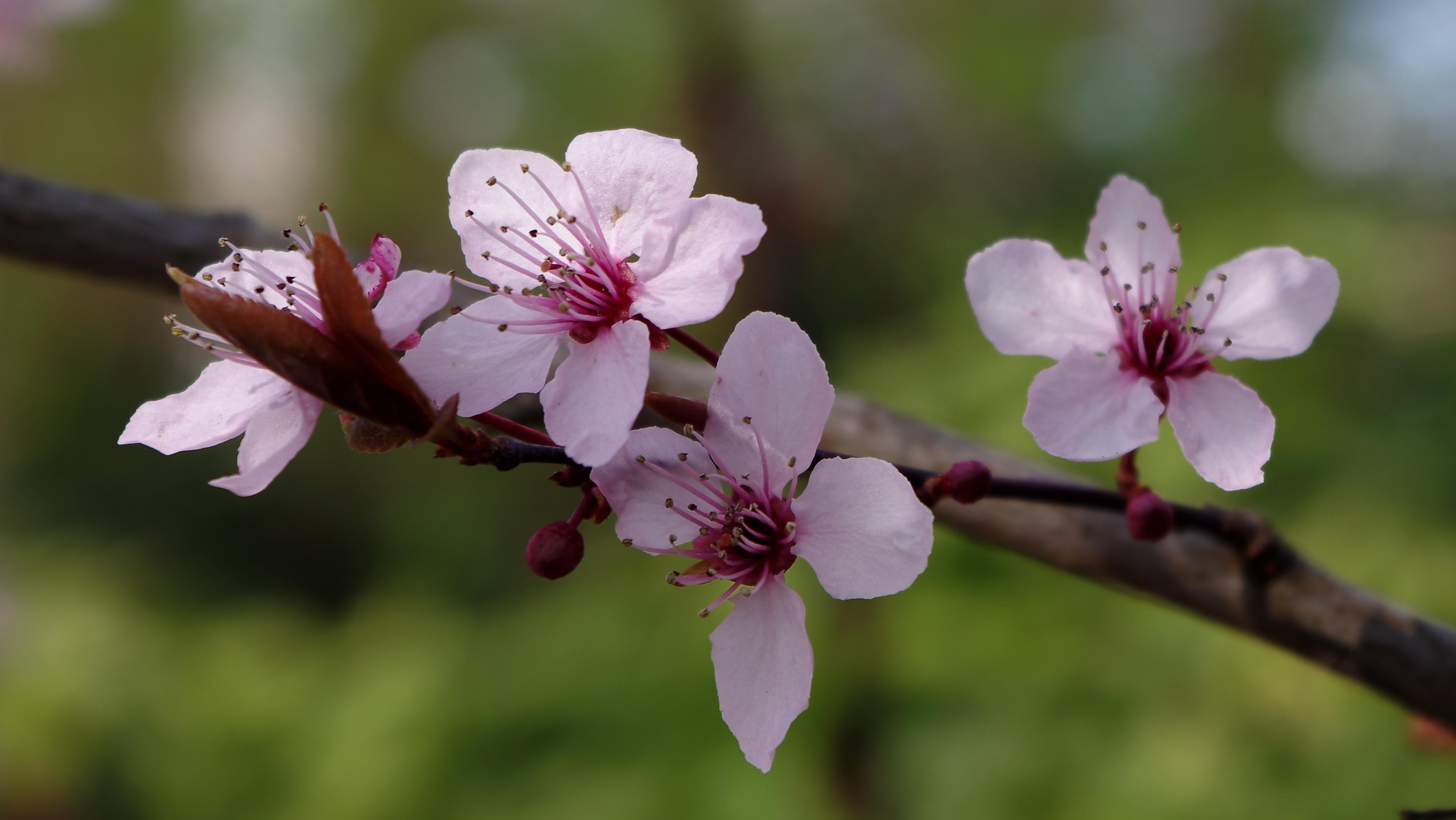 scenery spring pictures fleur printemps rose. Black Bedroom Furniture Sets. Home Design Ideas