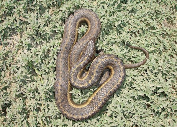 File:Giant garter snake eric hansen usfws.jpg - Wikimedia Commons