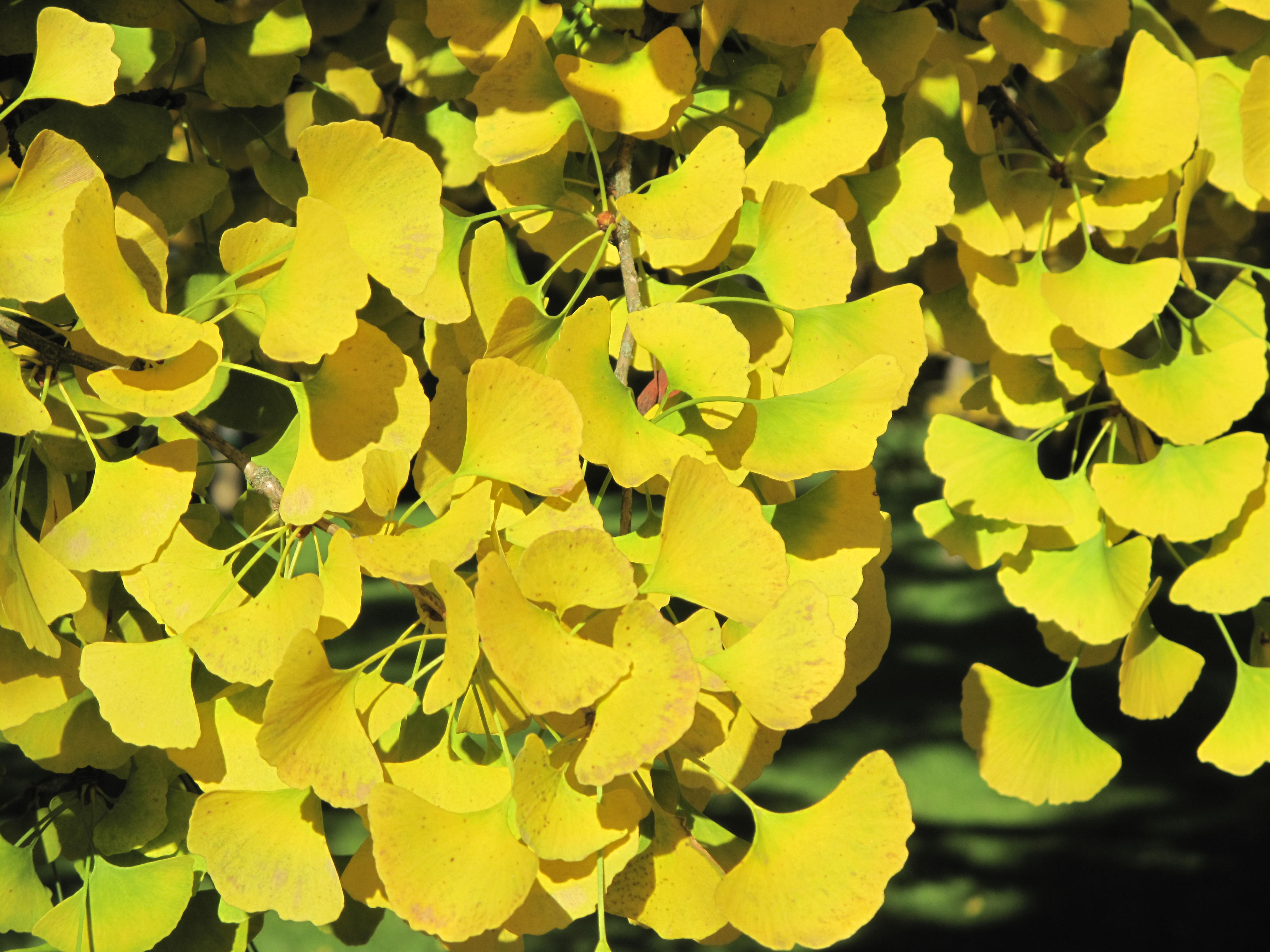 file ginkgo leaves vaires 5 jpg wikimedia commons