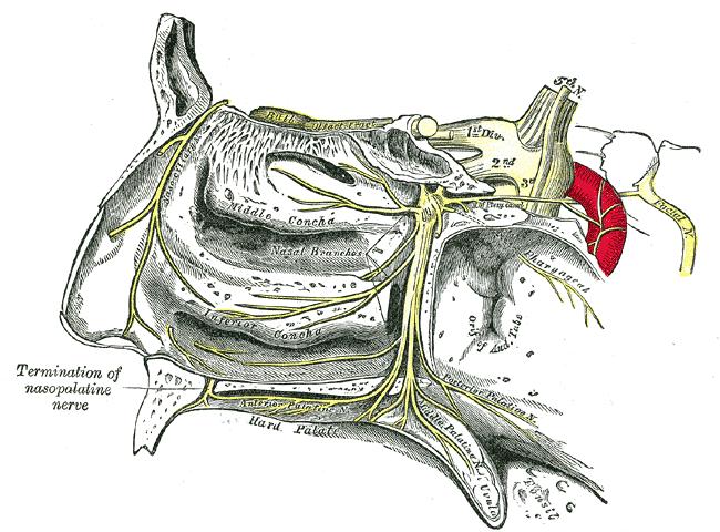 Pharyngeal nerve - Wikipedia