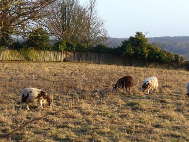 Grazing on Cobstone Hill - geograph.org.uk - 1672389