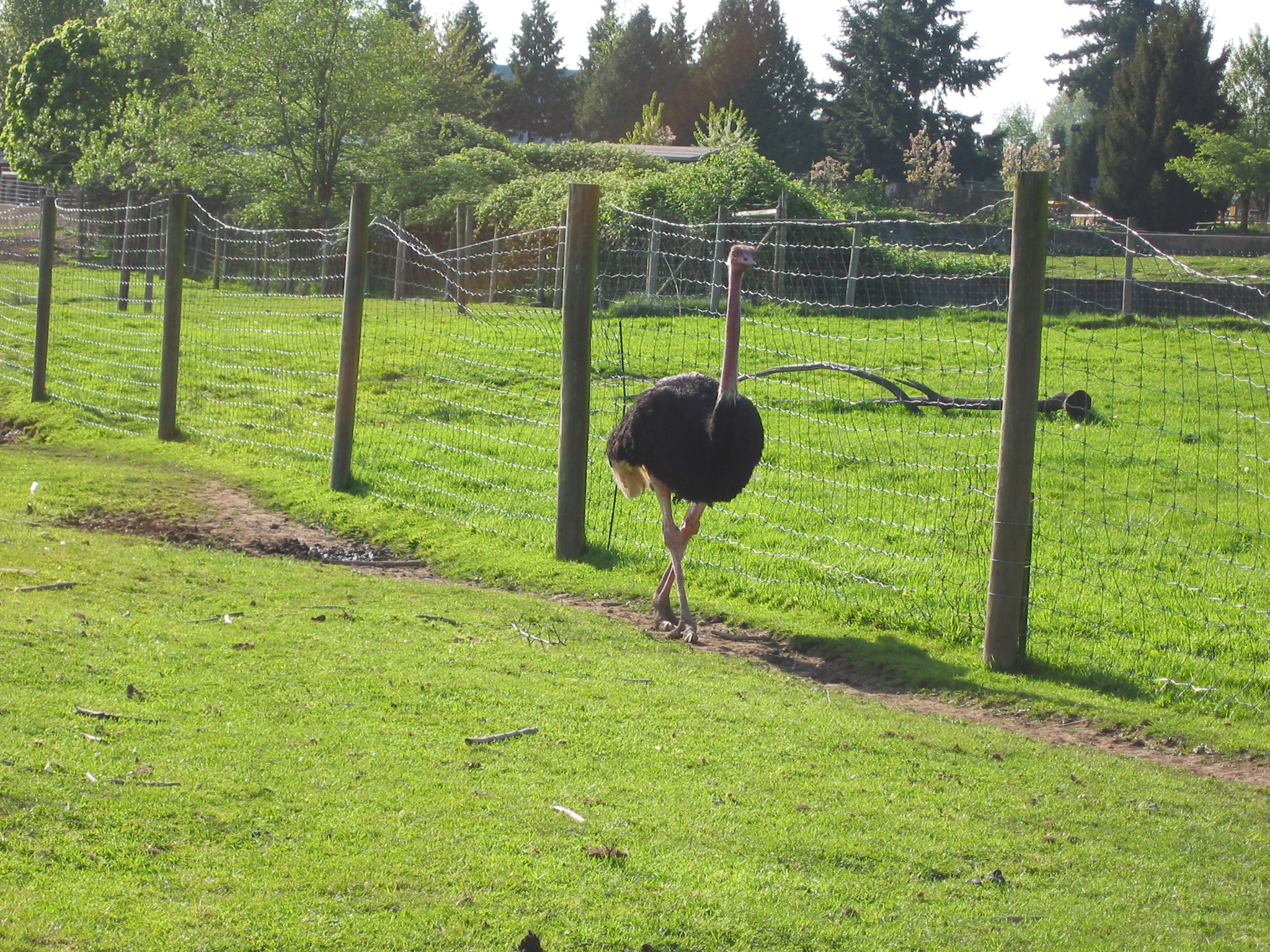 An Ostrich in Greater Vancouver Zoo