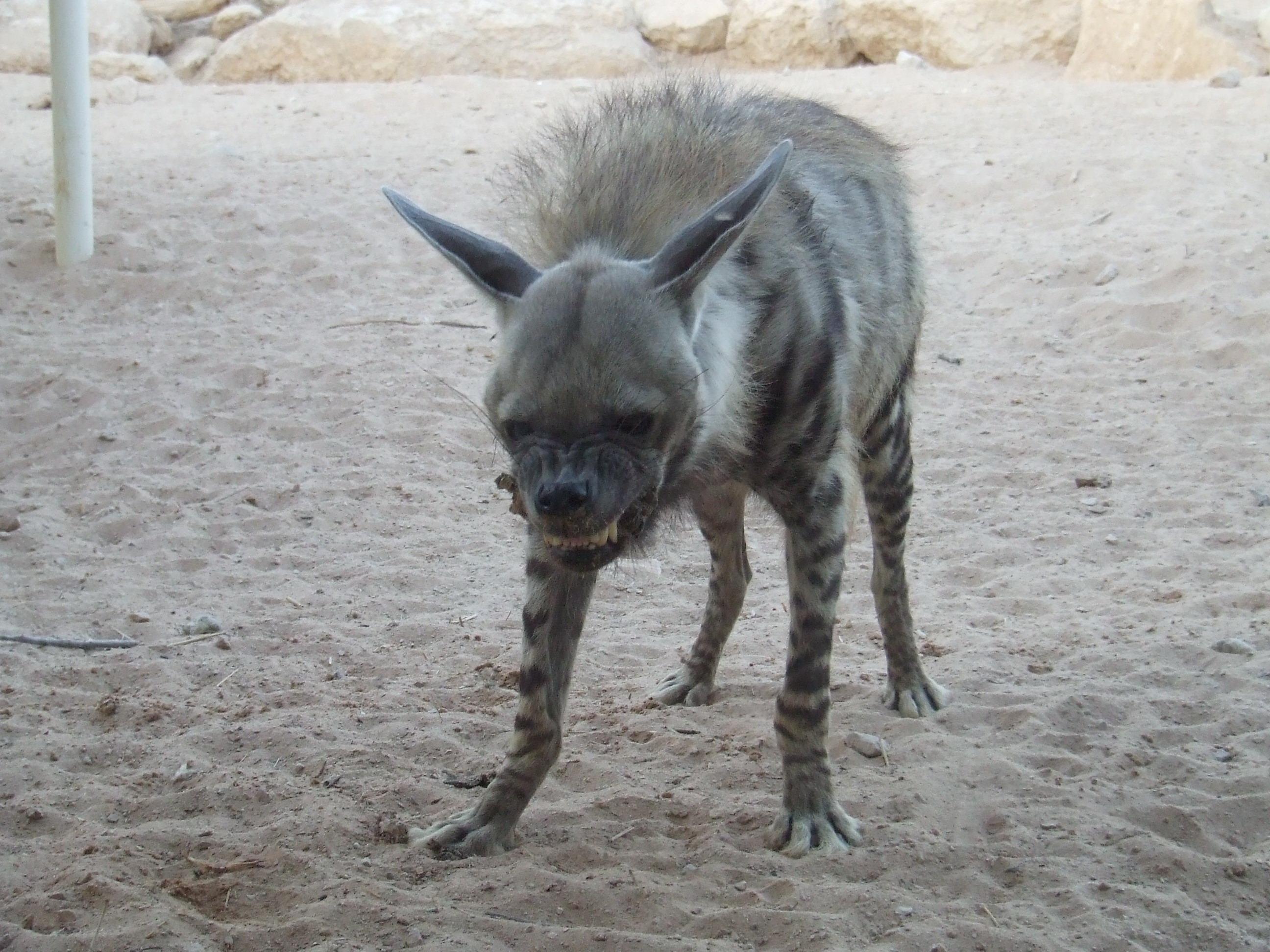 Dog Breeds Gaurd Doesnt Bark A Lot Short Hair