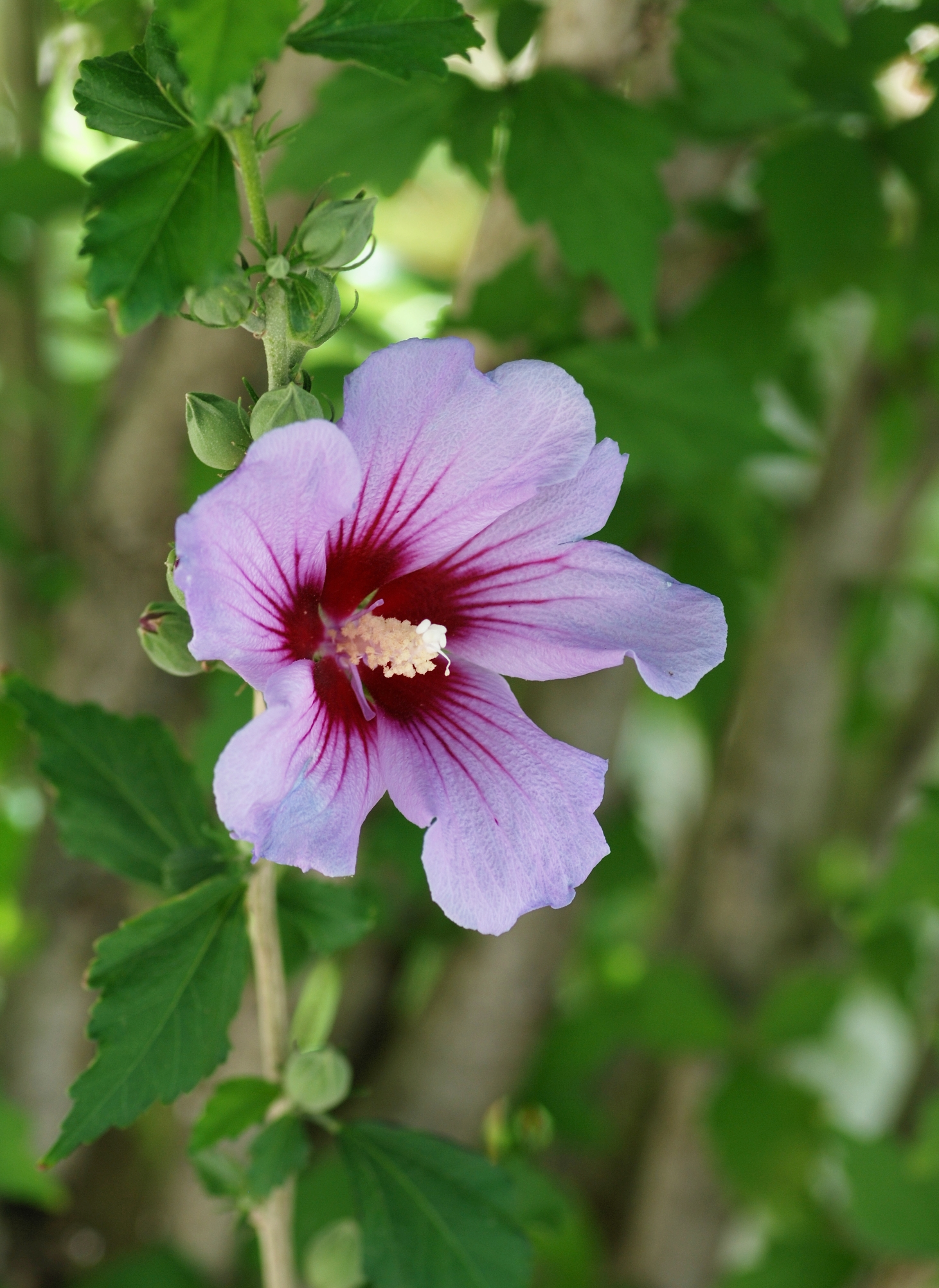 Hibiscus syriacus wikiwand izmirmasajfo