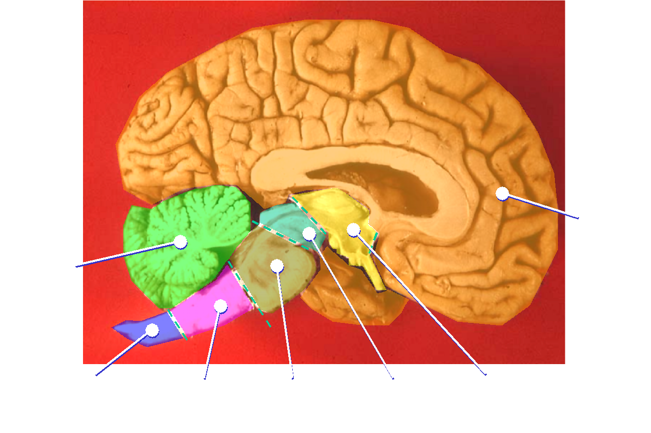 file human brain midsagittal cut color png wikimedia commons