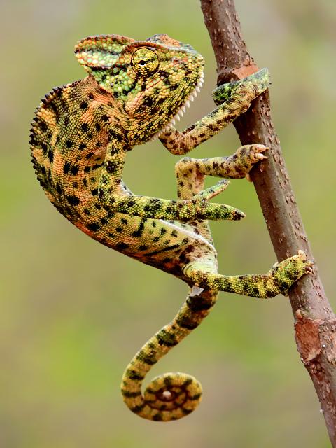 Indian Chameleon (Chamaeleo zeylanicus) Photograph By Shantanu Kuveskar.jpg