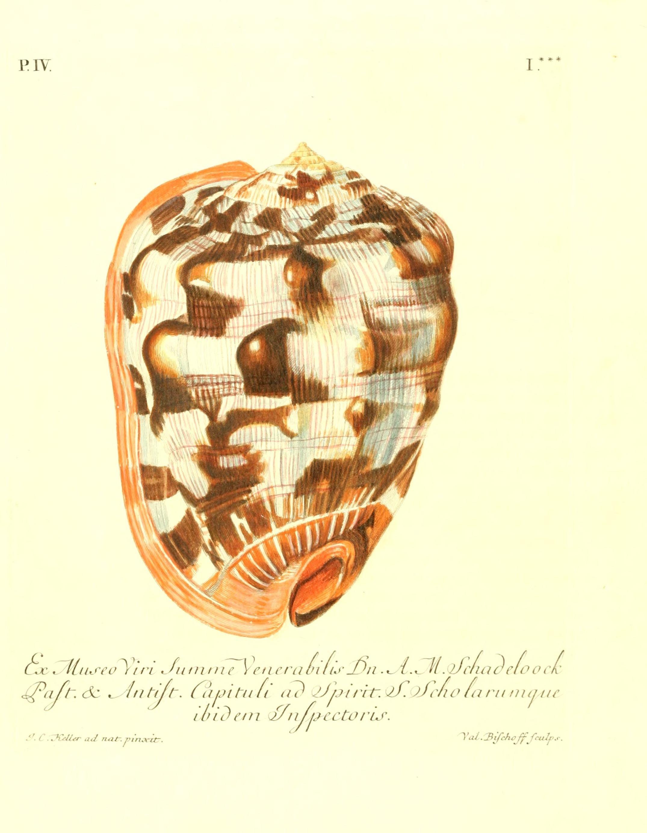 File les delices des yeux et de l 39 esprit ou collection generale des differentes especes de - Differentes especes de pins ...