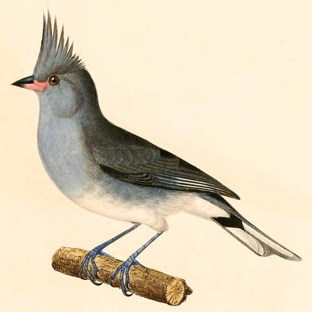 greycrested finch wikipedia