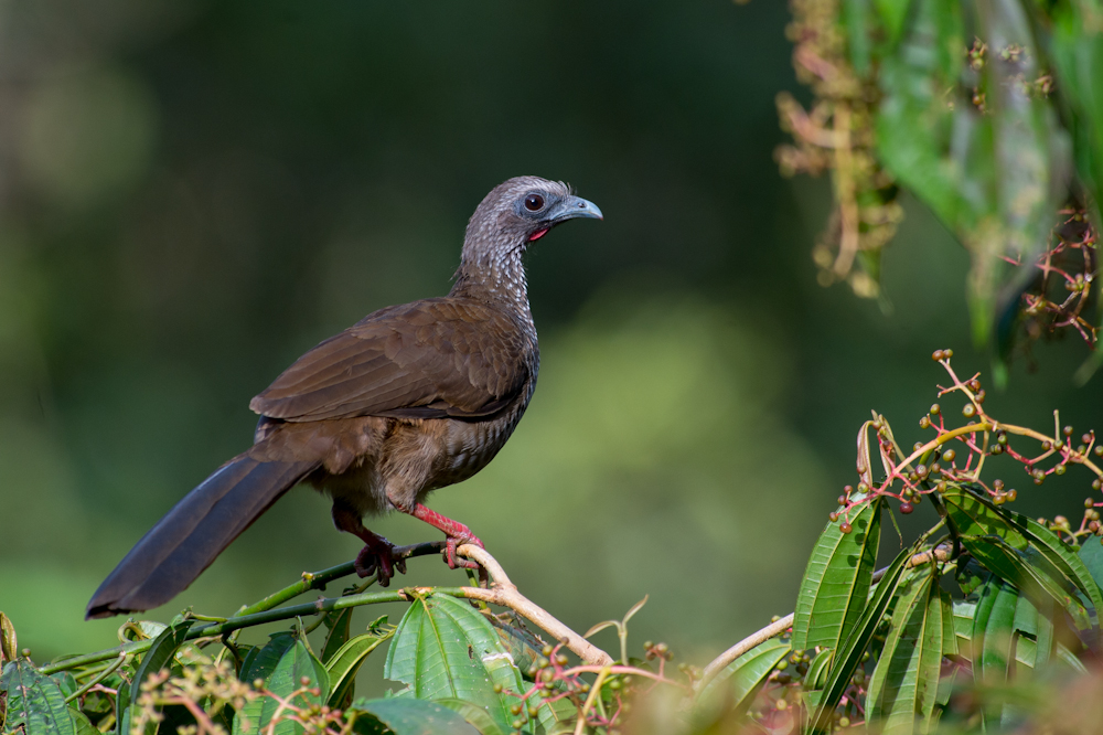 Speckled Chachalaca Wikipedia