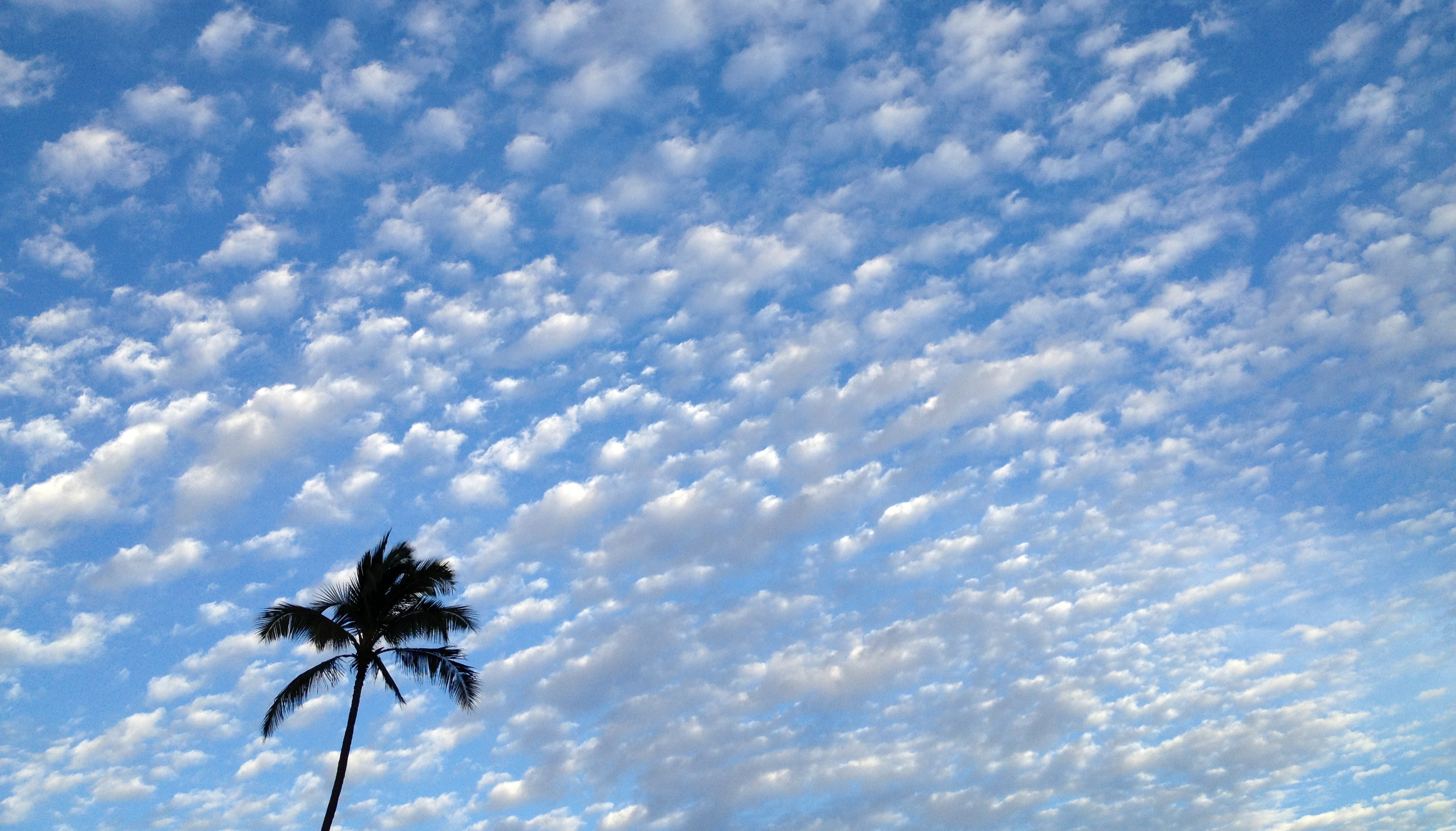 file palm tree blue maui sky and clouds jpg wikimedia commons