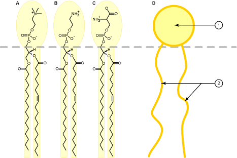 http://upload.wikimedia.org/wikipedia/commons/d/d7/Phospholipid_schematic_representation.png