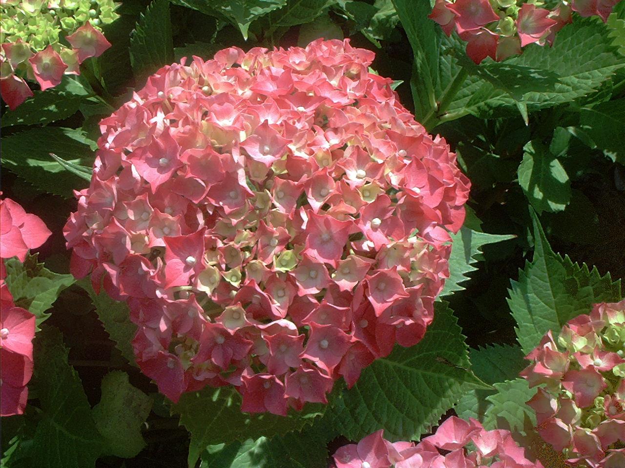 File Pink hydrangea flower