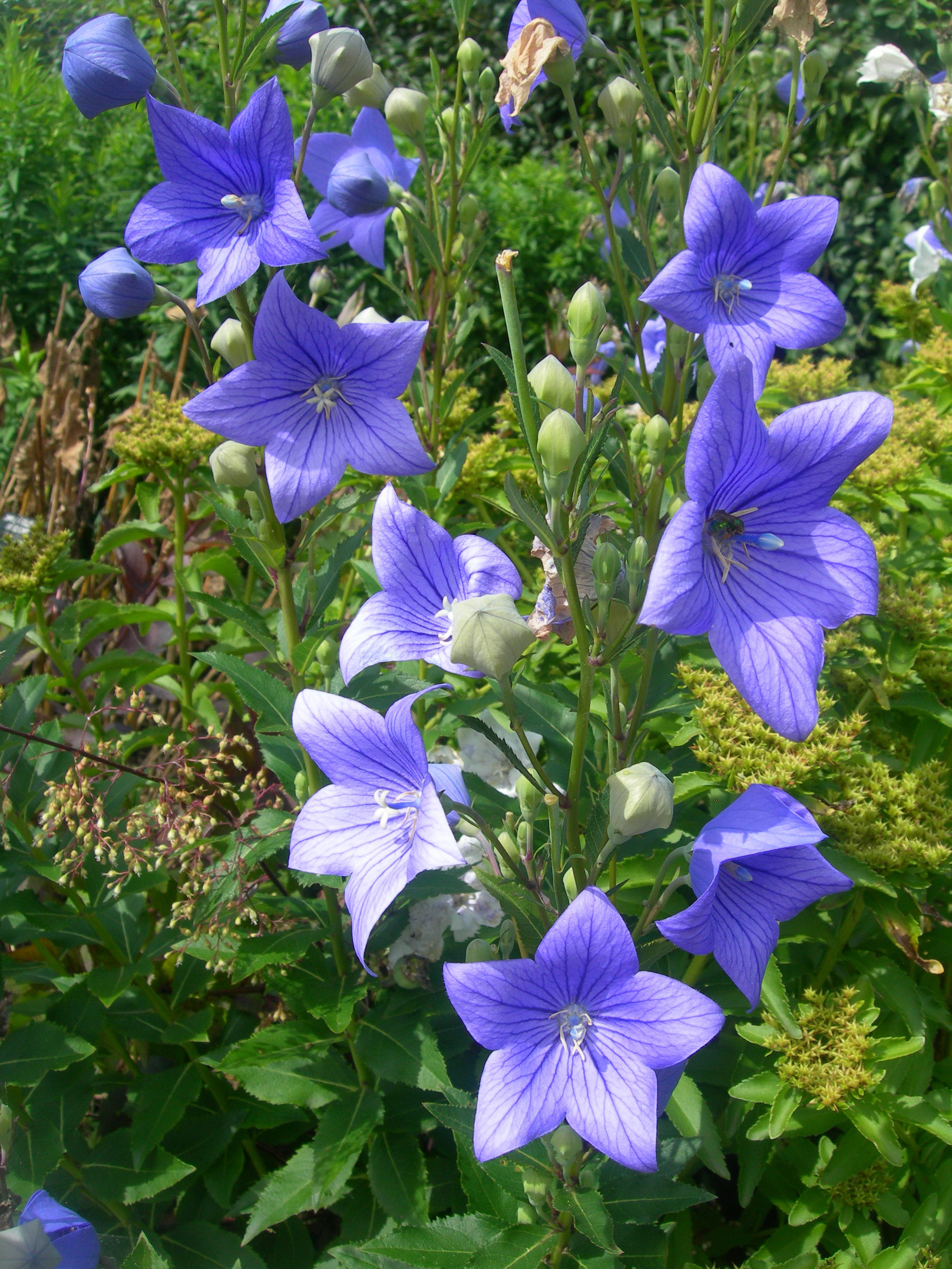 Image result for balloon flower platycodon