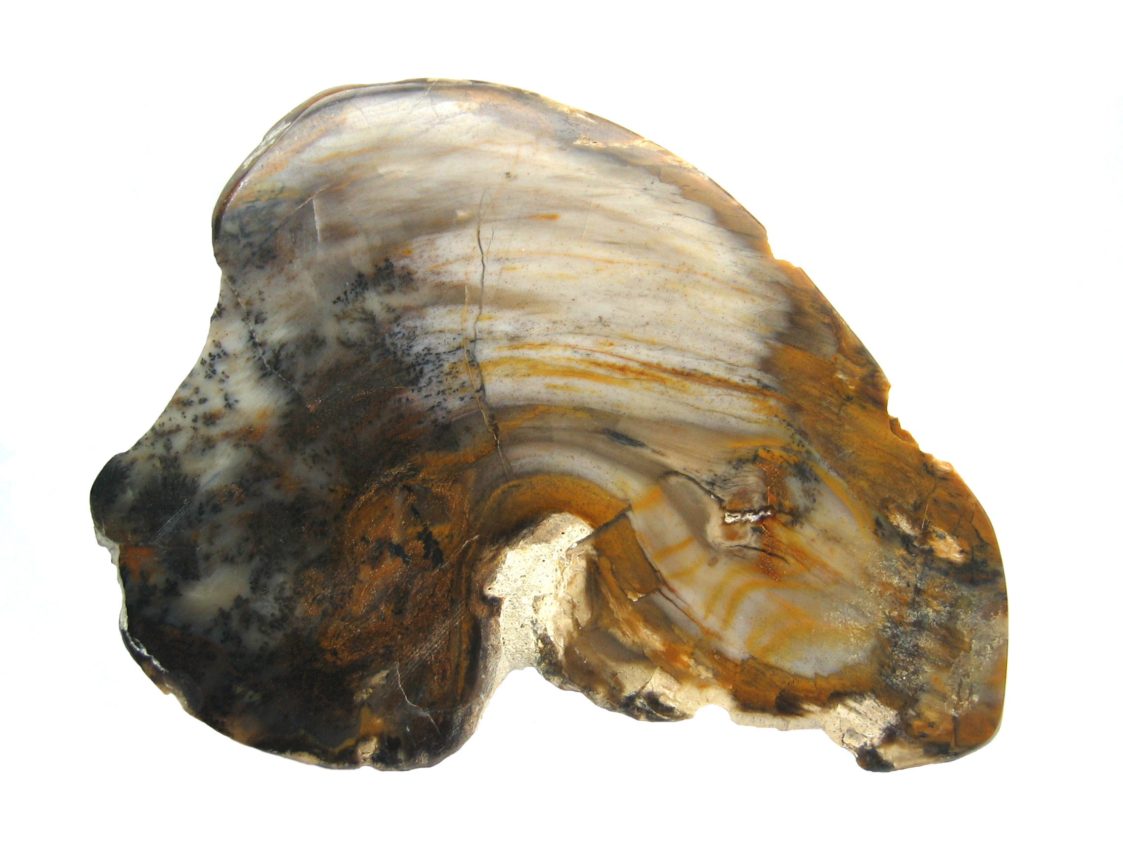 File:Polished Petrified Wood Macro.JPG