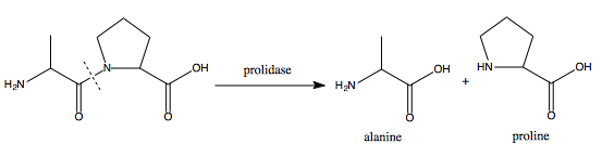 Prolidase-catalysed cleavage of a dipeptide to yield proline and, in this case, alanine.
