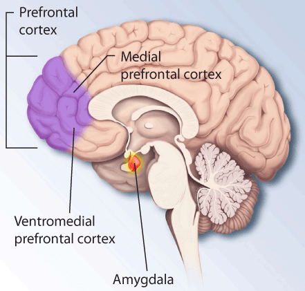 Image result for amygdala
