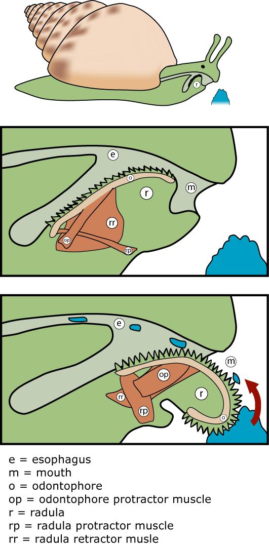 file:radula diagram.png - wikimedia commons moon snail diagram