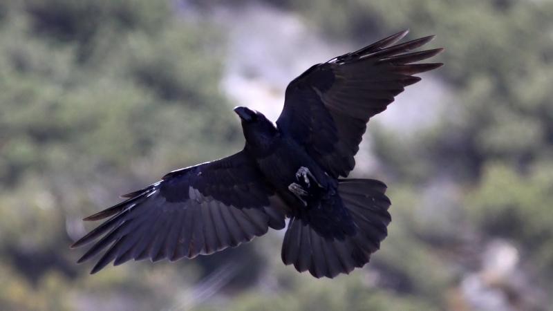 Cudowna File:Raven (Corvus corax) (3).JPG - Wikimedia Commons OI84