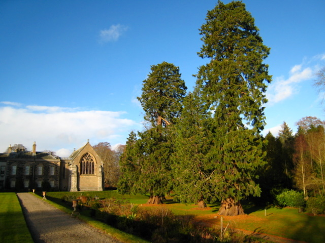 Redwoods at Haddo House. - geograph.org.uk - 619044