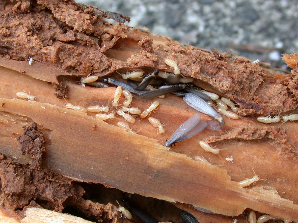 Reticulitermes speratus Colony01.jpg