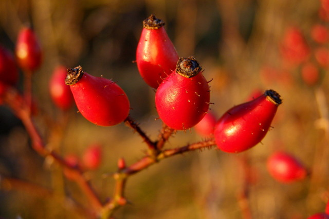 Rosehips, Mount Down - geograph.org.uk - 1115262