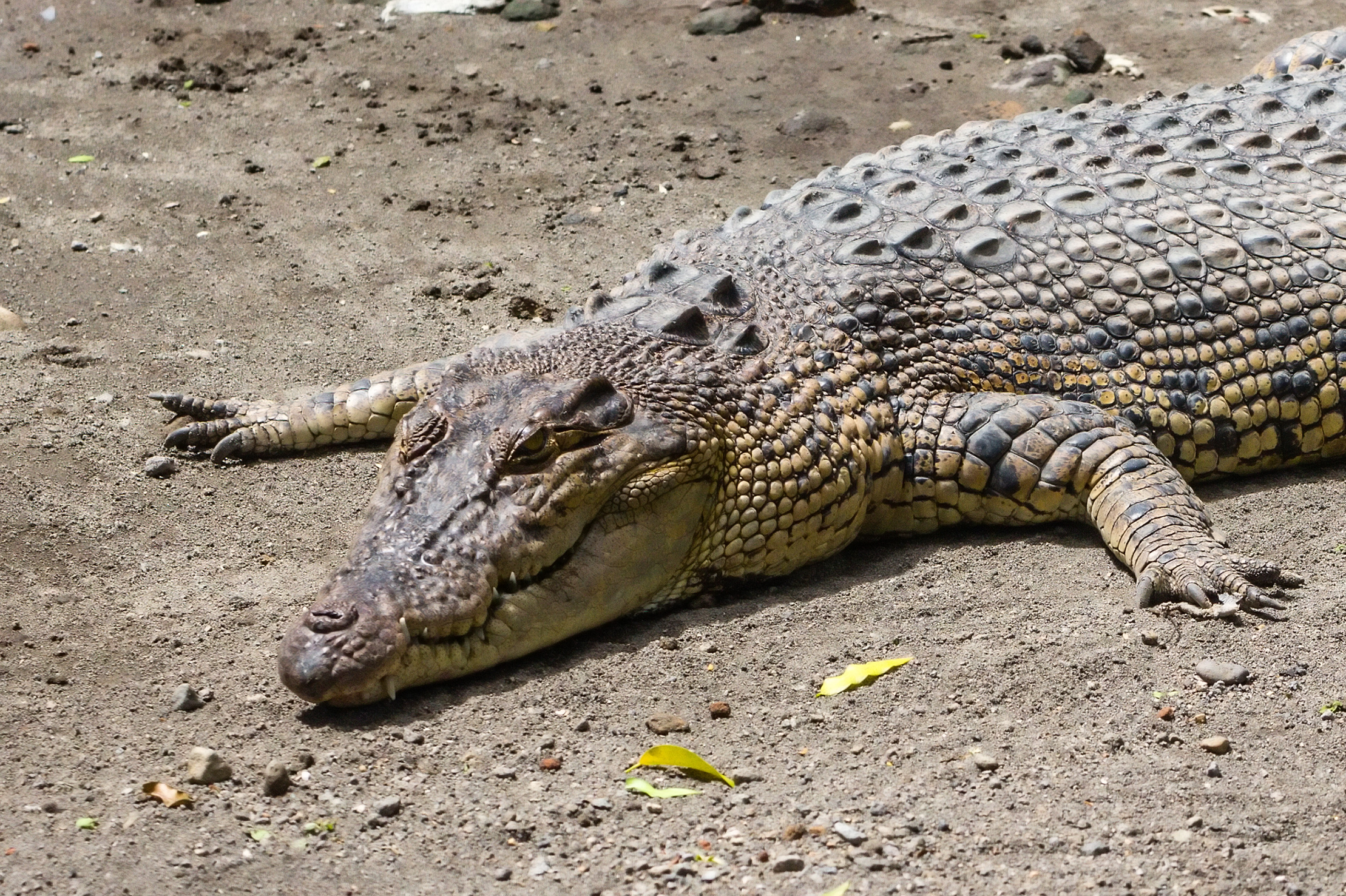a look at the adaptations of the american alligator Director: the phantom of the opera joel schumacher was born a look at the adaptations of the american alligator on august 29 forums.