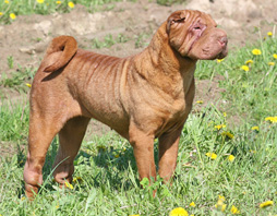https://upload.wikimedia.org/wikipedia/commons/d/d7/Sharpei_female.jpg