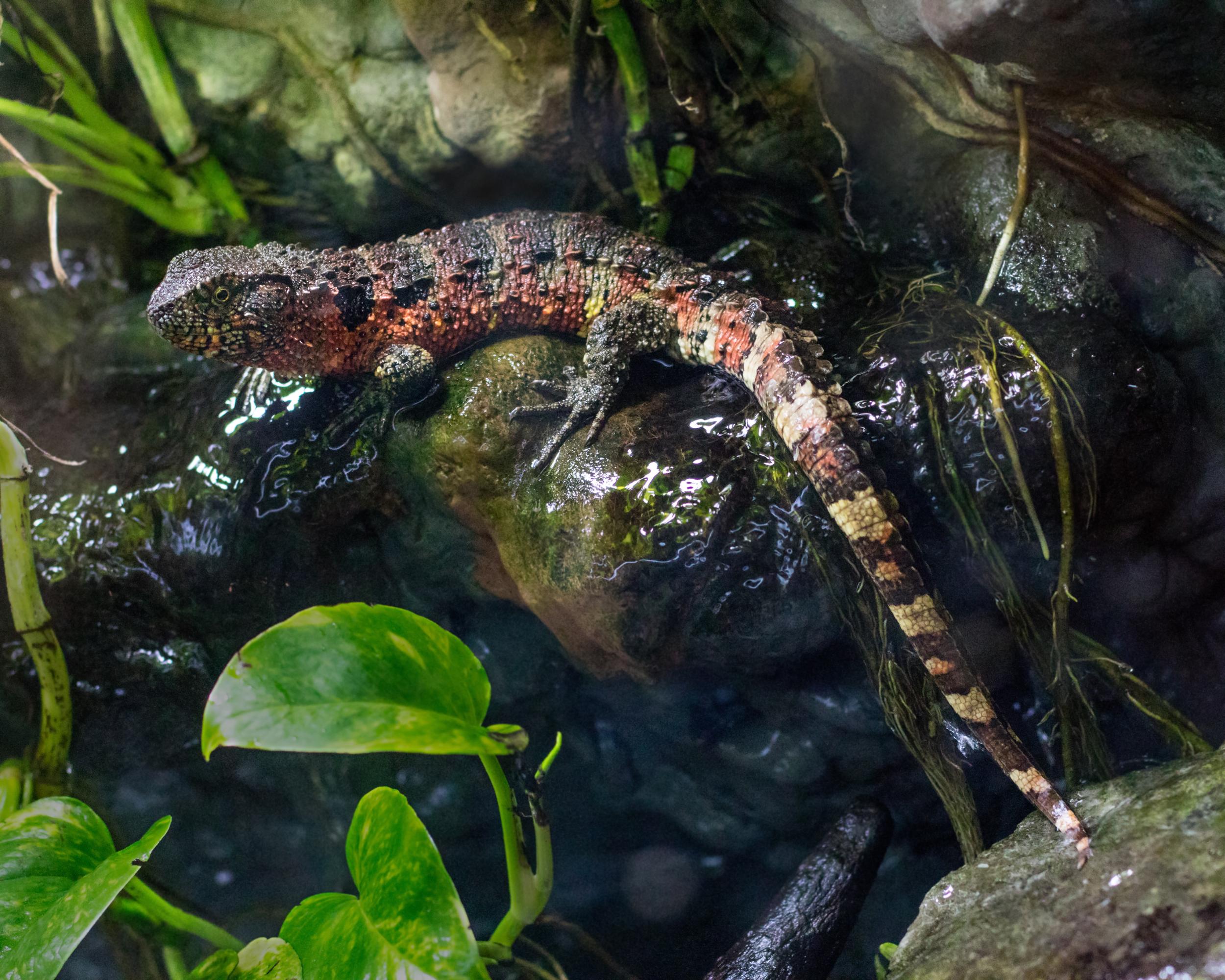 Chinese crocodile lizard - Wikipedia