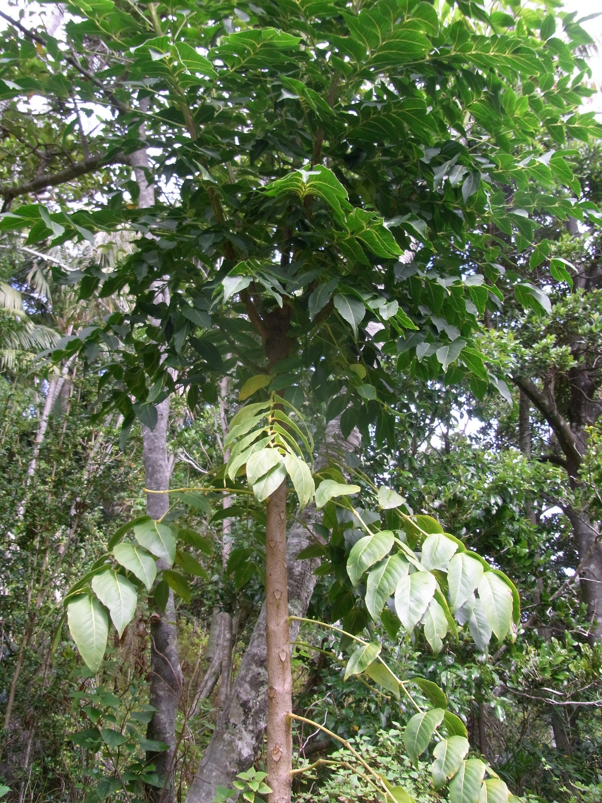 polyscias cissodendron