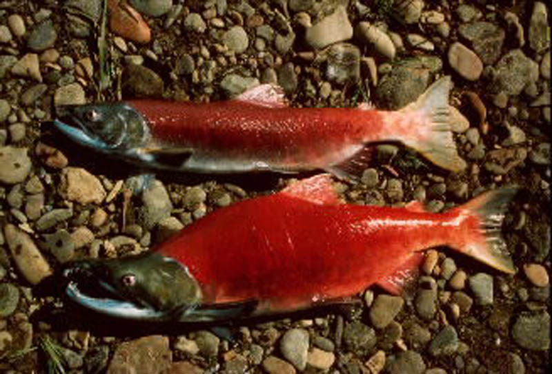 Cutthroat Fishing Vancouver Island