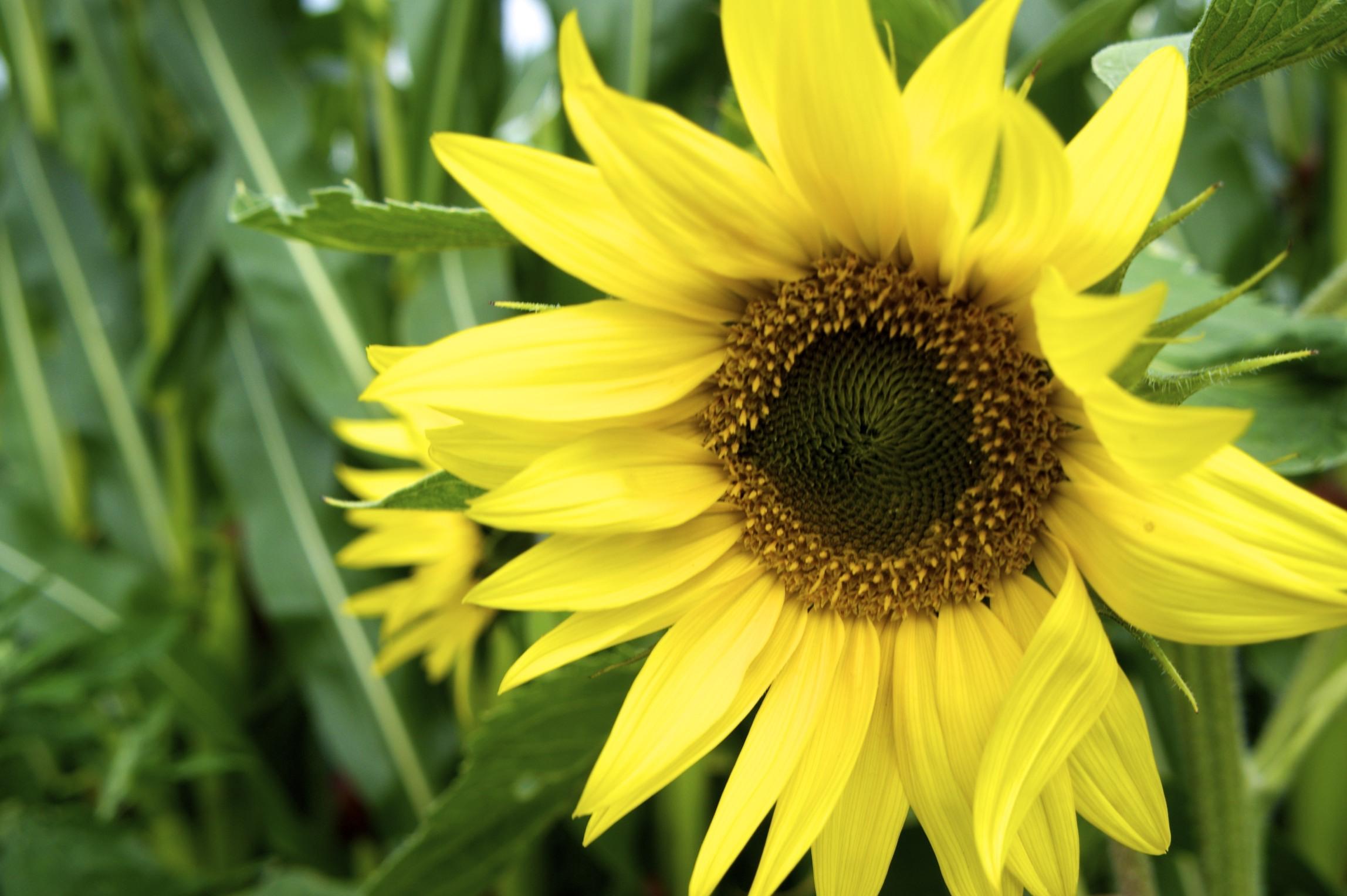 sonnenblumen pflanzen sonnenblumen pflanzen sonnenblumen. Black Bedroom Furniture Sets. Home Design Ideas