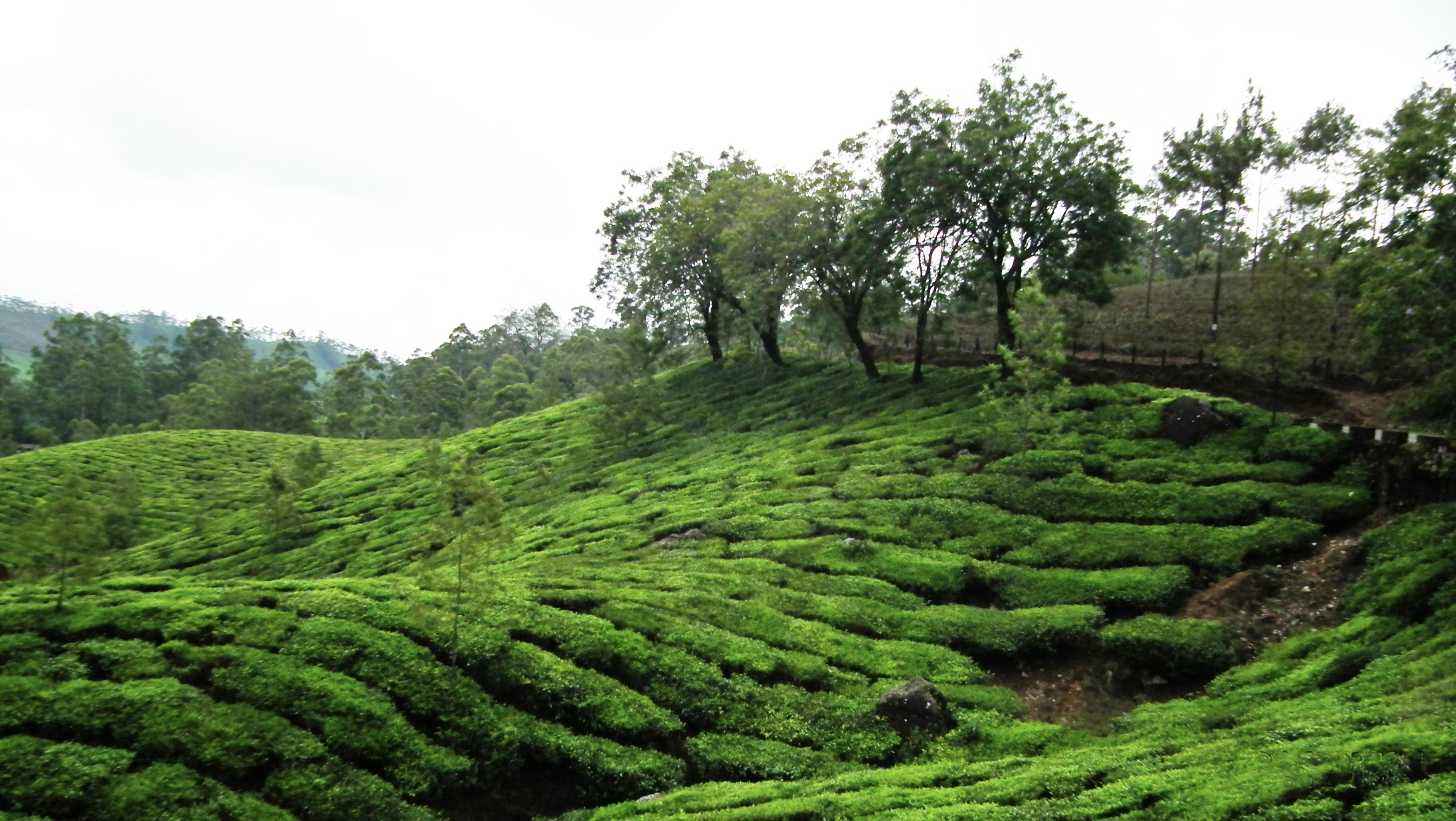 File Tea Wikimedia Commons