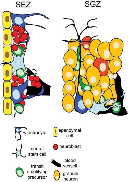 Adult Neural Stem Cells 19