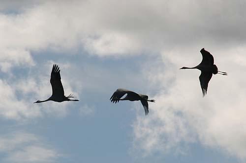 File:Tranor flyger.jpg - Wikimedia Commons