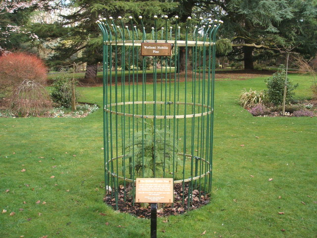 Wollemi nobilis pine in Rockley Memorial Park - geograph.org.uk - 1191900