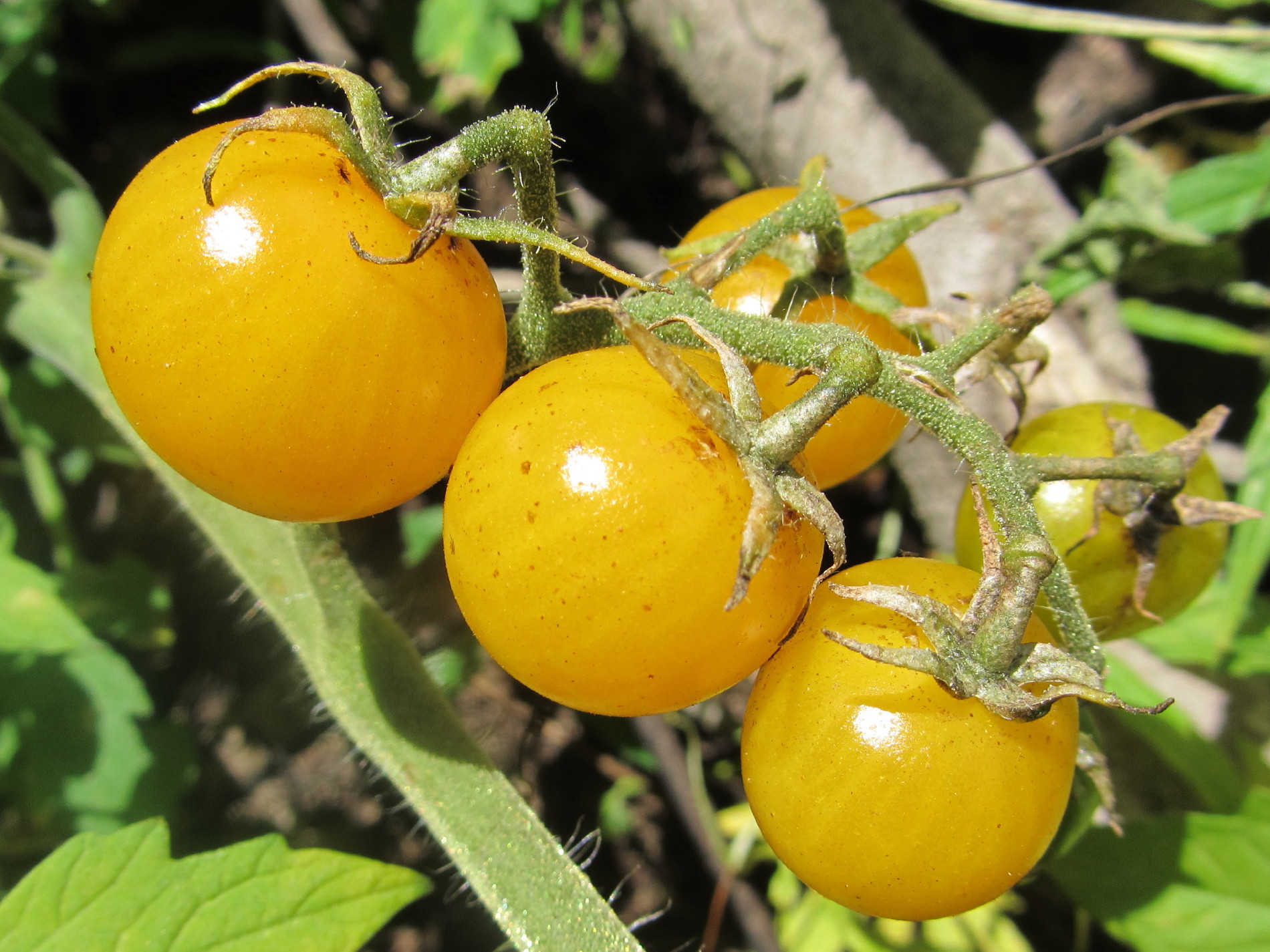 yellow cherry tomatoes -#main