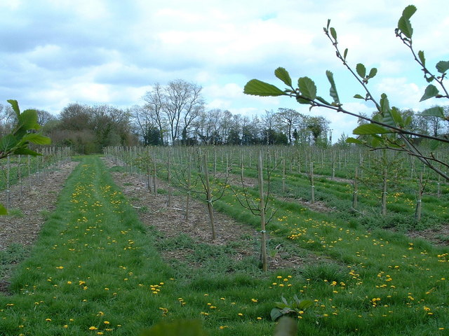 File:Young Orchard - geograph.org.uk - 164522.jpg