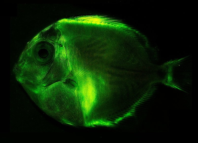 Fish glowing with biofluorescence