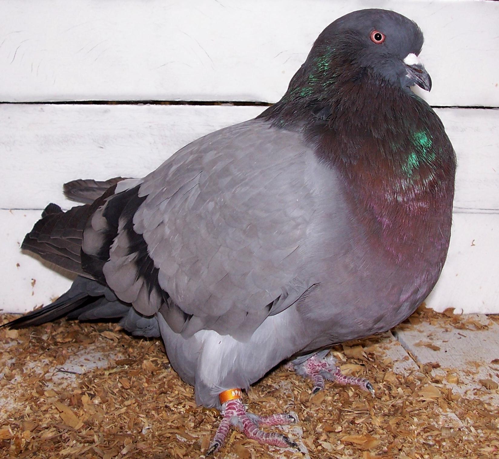 Pigeons Loft 2009 08