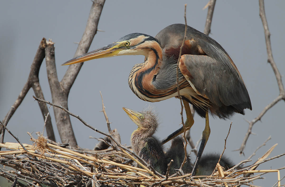 a picture of a purple heron and chick on a nest